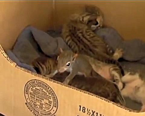 Squirrel Learns to Purr When Adopted by Cat!  The Animal Video of the Day!!!...see more at PetsLady.com -The FUN site for Animal Lovers
