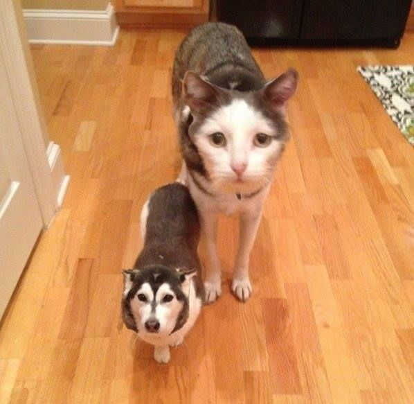 Apparently Faceswap Live works on cats and dogs too. [r/pics by u/adityapstar] http://ift.tt/2aF6uQG