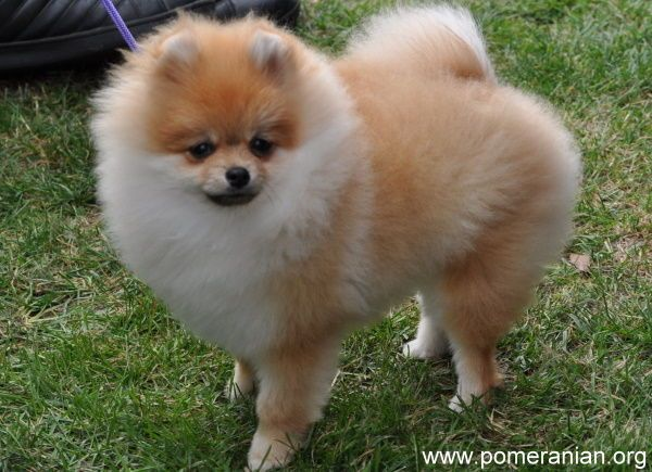 How Much Water Should Your Pomeranian