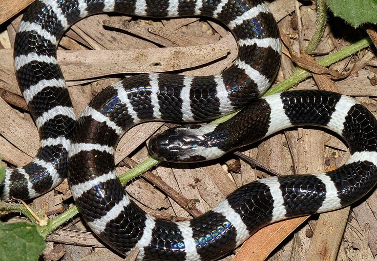 Many-Banded Krait    Also known as the Taiwanese or Chinese Krait, the many-banded krait is a highly venomous snake found in southern China and Southeast Asia. In the daytime, this snakes hides in places such as holes and under rocks. However, at night, it hunts and becomes more aggressive. Symptoms will not appear promptly after bite, but may show hours later. If untreated, death is likely 70-100% of the time.