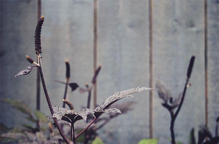 P20. Höstsilverax, Actaea simplex 'Brunette'