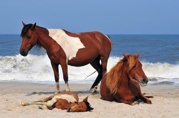 Chincoteague National Wildlife Refuge  This Assateague Island refuge off Virginia's coast.  Chincoteague is best known for its wild ponies, descended from horses presumed to have swum ashore from Spanish galleons that sank off the coast in the 15th and 16th centuries.    The annual pony swim to and from Chincoteague Island happens at the end of July.