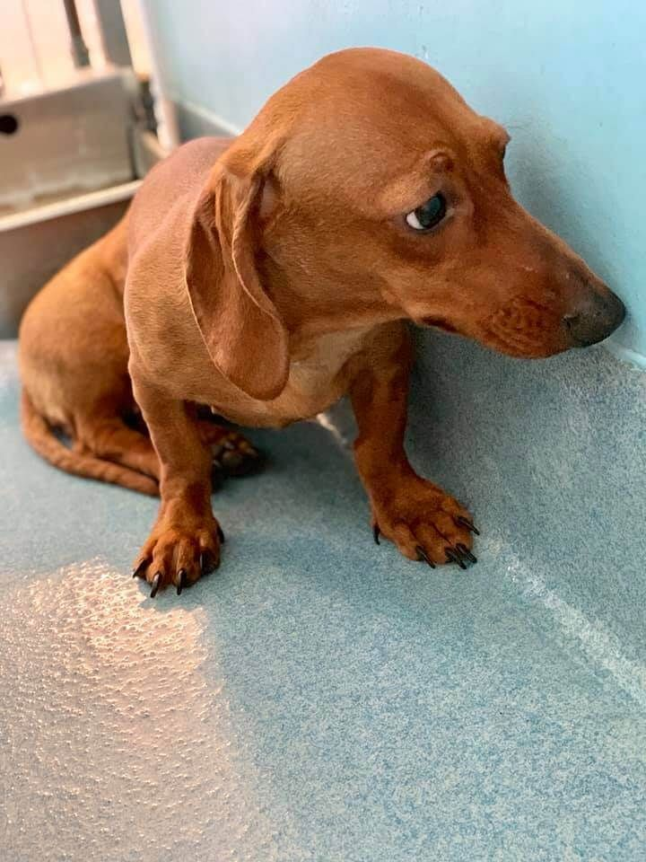 Dumped Dachshund Puppy Terrified At High Kill Shelter Pet Rescue