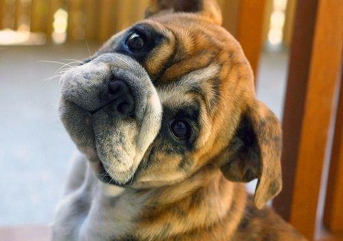 "Boxer- Tiger aka ""Clarence"""