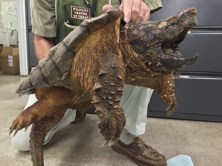 Tiene un curioso aspecto que recuerda al de un animal prehistórico, pero en realidad es una especie de tortuga conocida en inglés como alligator snapping turtle (tortuga mordedora). Este individuo que aparece en las fotos pesa concretamente 24 kilogramos y ha sido rescatado de una tubería cerca del área