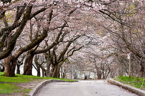 cherry blossoms high park - 2015 bloom early May