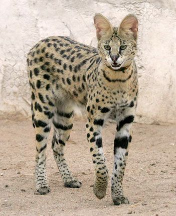 The Savannah cat is a result of breeding a wild African Serval to a domestic cat. Known of its tall and slender bodies. These cats have loving and outgoing personalities..  Can be mistaken for a cheetah.