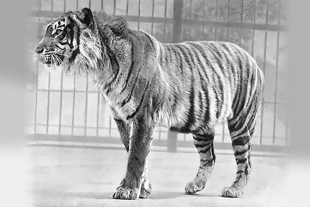 Tiger populations have dropped 97 percent within the last 100 years. Among them is the Javan tiger, which the IUCN declared extinct in 2003 (though it hadn't been spotted since 1976, in the Meru Betiri National Park in Java, Indonesia). Thanks to recent conservation efforts, the Bengal tiger in …