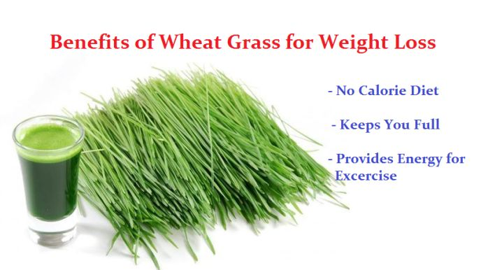 There are many benefits of wheat grass powder. It helps in losing weight. It is no calorie diet and also reduces appetite. These are main weight loss benefits of wheat grass.