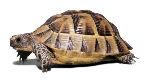 www.petclic.es la mayor tienda online de productos para #mascotas. La mayor biblioteca de contenido y consejos sobre mascotas. 1.000 consejos. 50.000 imagenes. Foto de #animales #tortuga #tierra