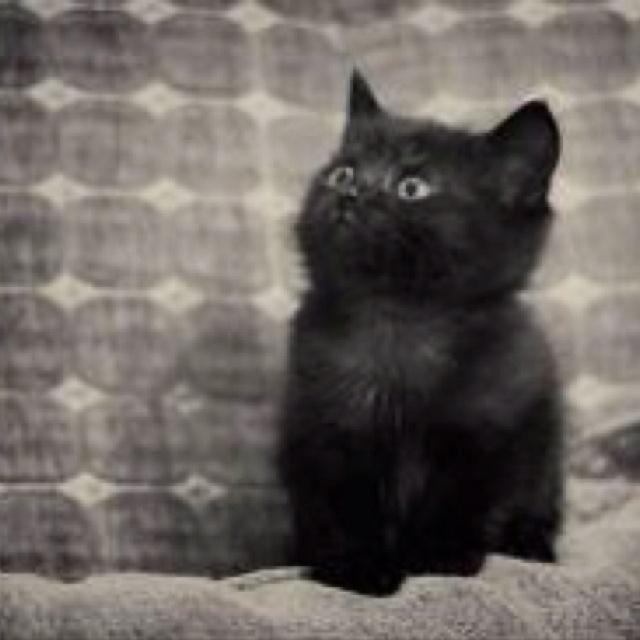 adorable!: Animals, Kitty Cat, Black Kitty, Chat Noir, Black Cats, Crazy Cat, Black Kittens, Blackcat, Cat Lady
