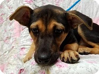 2/8/17 New York, NY - German Shepherd Dog Mix. Meet Sabina **FOSTER NEEDED**, a puppy for adoption. http://www.adoptapet.com/pet/17554856-new-york-new-york-german-shepherd-dog-mix