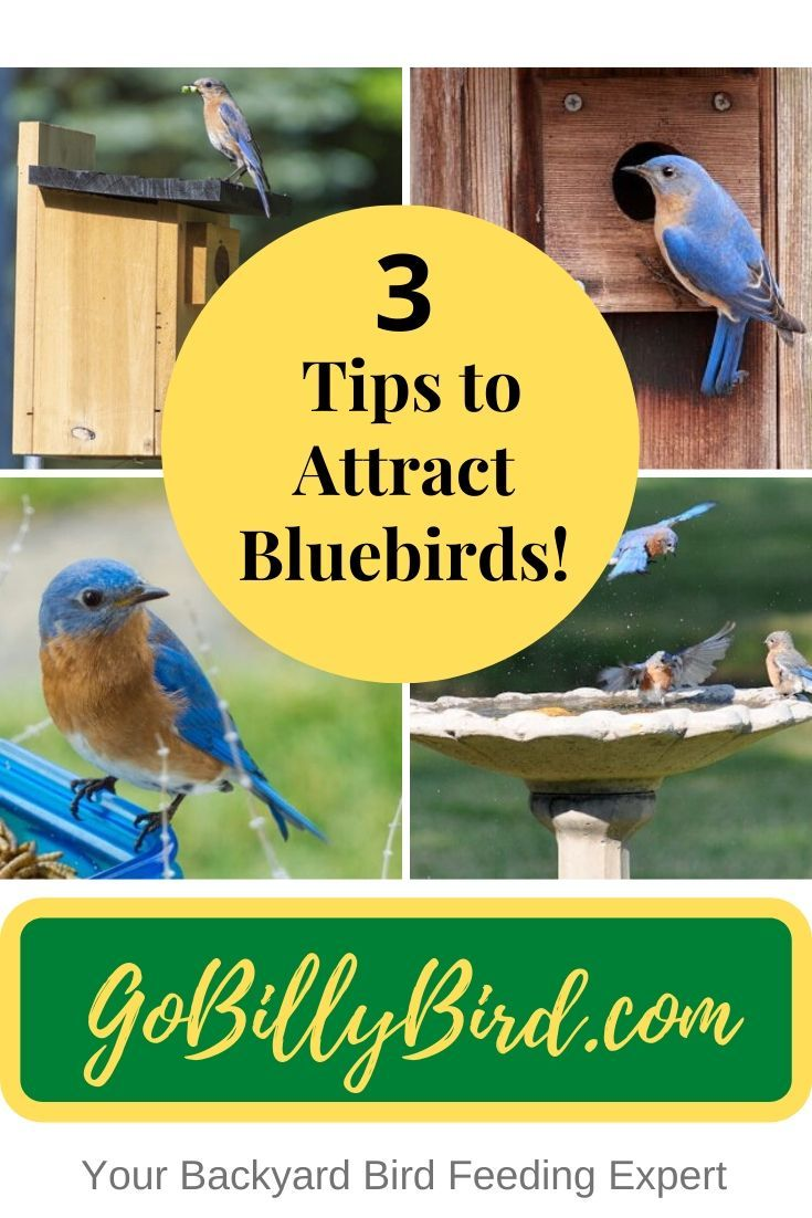 3 Tips to Attract Bluebirds! in 2020   Blue bird, Backyard ...