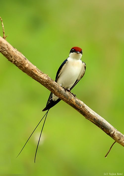 """Natures Doorways - earth-song: wire tailed swallow"""" by Tejas Soni"""