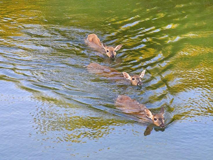 Key deer swim to the ceremony - Little Palm Island Resort & Spa, (just off Little Torch Key on the Florida Keys coastline)