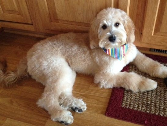 goldendoodle haircut pictures | Goldendoodle Haircuts Bentley - goldendoodle.jpg