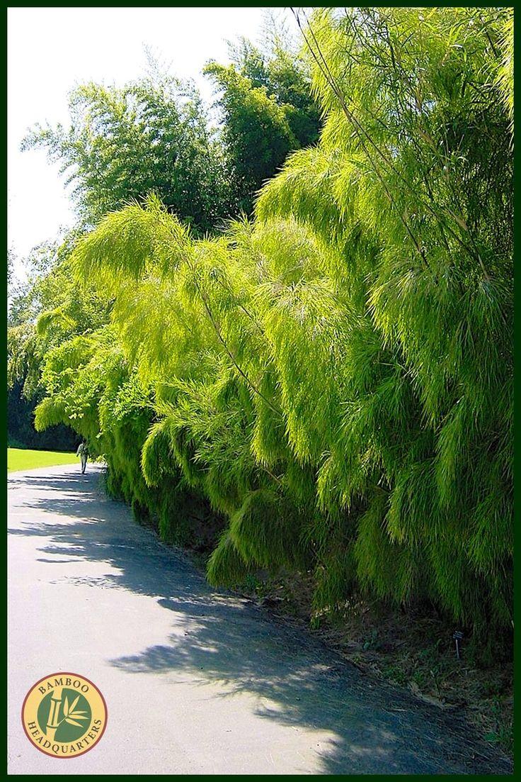 Mexican Weeping Bamboo (Otatea acuminata aztecorum)