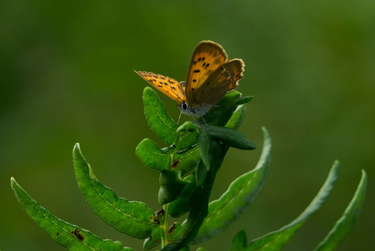 Lycaena virgaureae female - this small very intensively colored butterfly was resting on the tops of fern vegetation