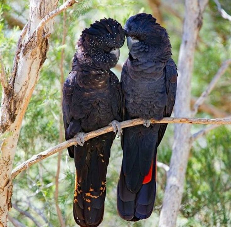 Male and female Red tailed Black Cockatoos