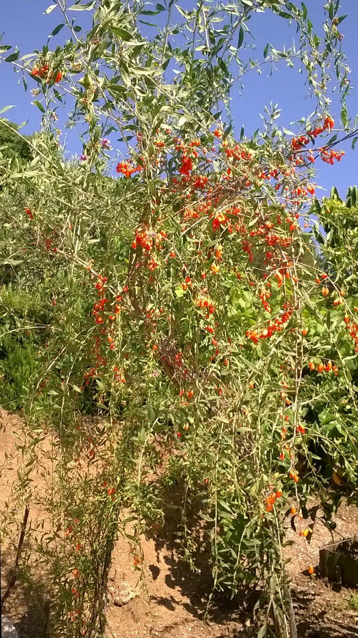 Piante di Bacche di Goji-Produzione Sicilia-Cefalù (PA) www.aplcefalu.com