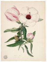 Hibiscus - John Lewin