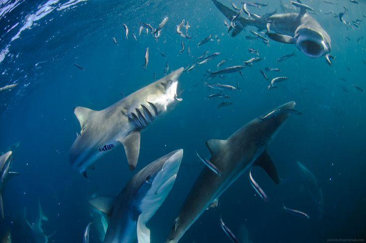 Copper and dusky shark tearing apart small bait ball at Wild Coast, South Africa