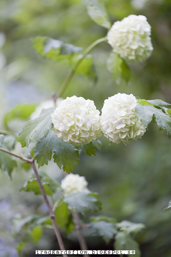 Viburnum Opulus 'Roseum' or Snowball Bush. In most areas it prefers shade but in my garden, it's in the sun and does fine.