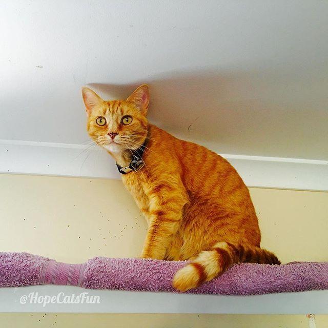 Autumn surveying her territory from the comfy platform #thegingerninja #gingercat #catonashelf #gingercatsrock #cutecat