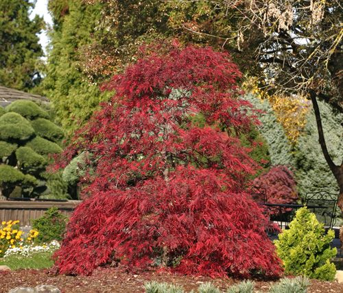 30 best images about plant menu my trees on pinterest for Miniature shade trees