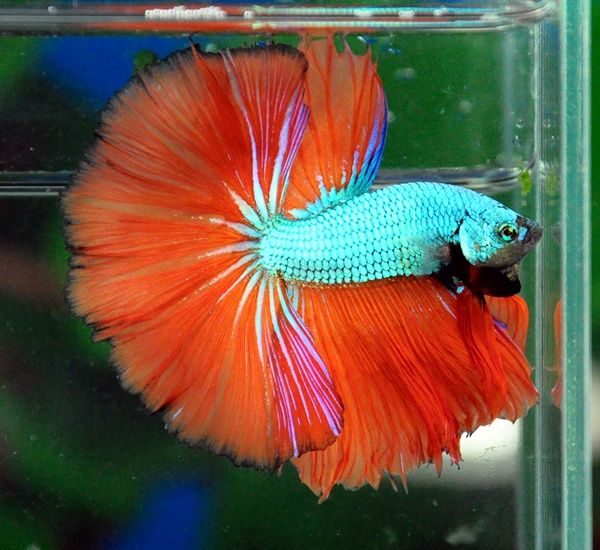 Green and red betta fish images for Best betta fish