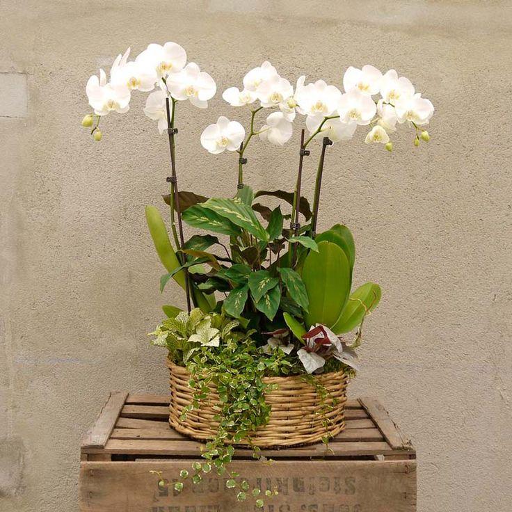 Contiene una cesta con tres orquídeas decorada con plantas y musgo. La combinación perfecta para que aciertes con tu regalo. Hacemos envíos a domicilio.