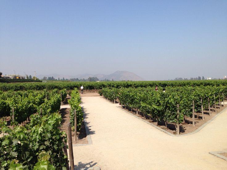 Cultivos de uvas de concha y toro.