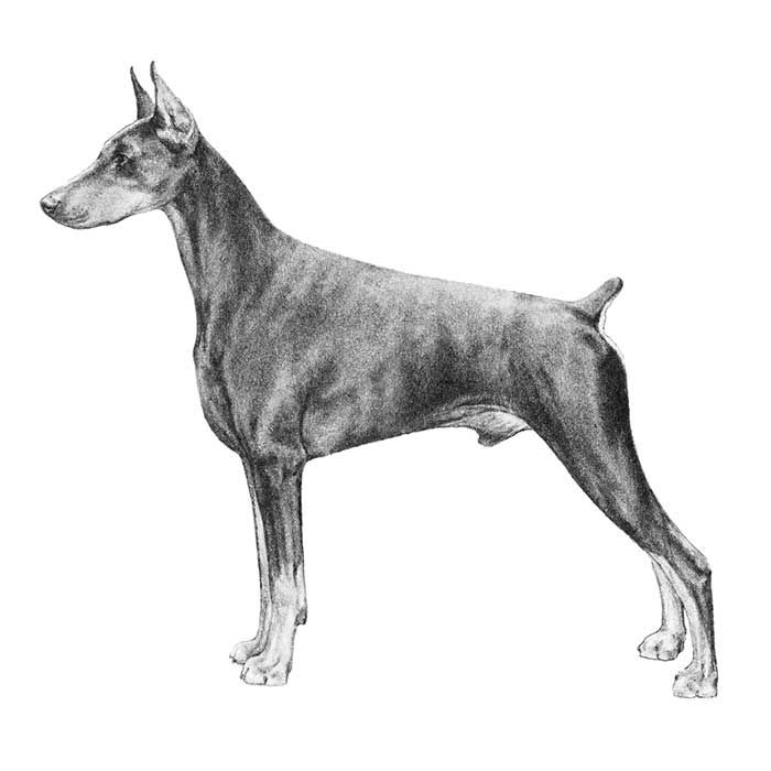 Doberman Pinscher Breed Standard Illustration. GENERAL APPEARANCE  The appearance is that of a dog of medium size, with a body that is square. Compactly built, muscular and powerful, for great endurance and speed. Elegant in appearance, of proud carriage, reflecting great nobility and temperament. Energetic, watchful, determined, alert, fearless, loyal and obedient.