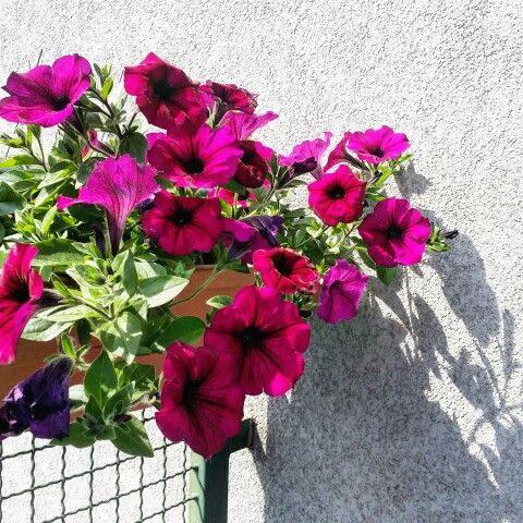 #perfecthome #spring #flowers #amazing #beautiful #perfect #nature #vsconature #balcony #pink #surfinia