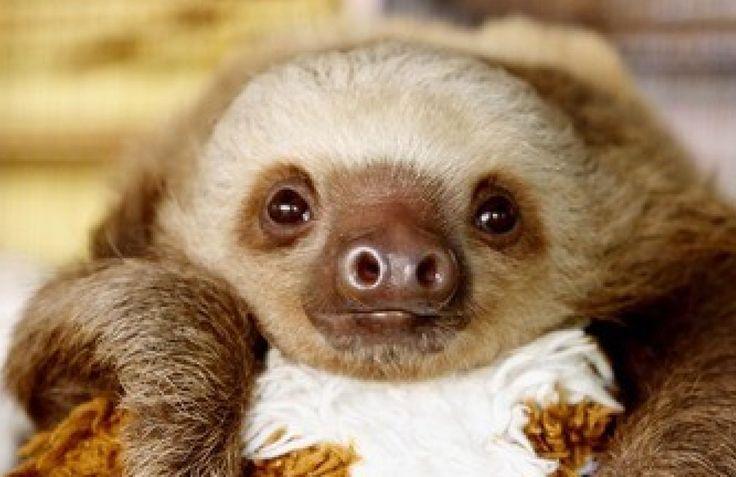 10 Cutest Sloth Videos To Celebrate Sloth Week!