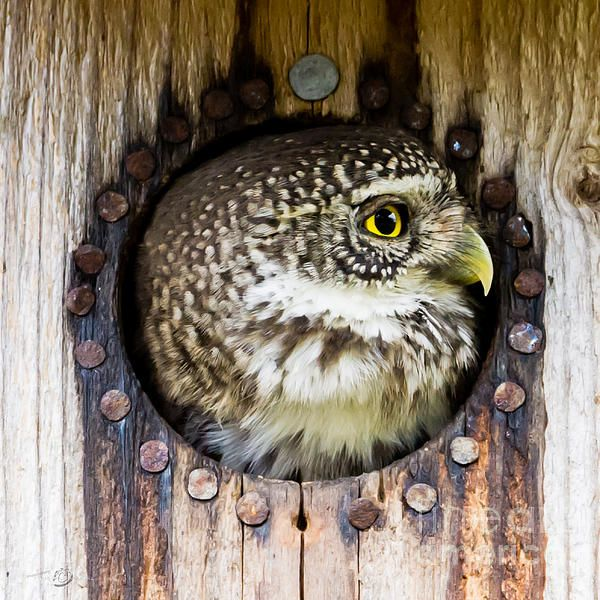 The Eurasian pygmy owl (Glaucidium passerinum) is the smallest owl in Europe. The owl preys on birds - some nearly as large as itself - and small mammals, such as voles. Here in a starling nest.