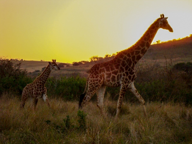 mother and calf in the sunset of hluhluwe reserve