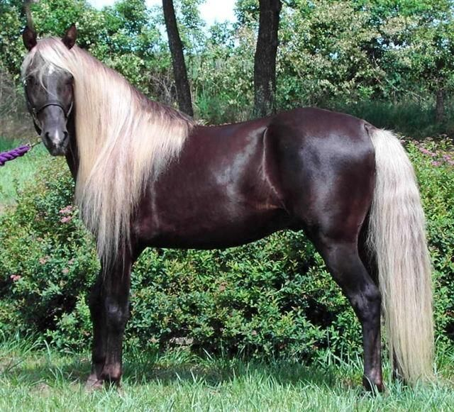 Rocky Mountain Horse....one of America's most beloved Horse Breeds