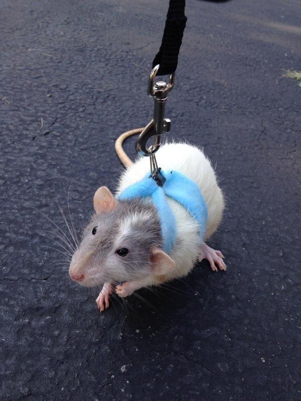 Pet rat going for a walk! So cute!!