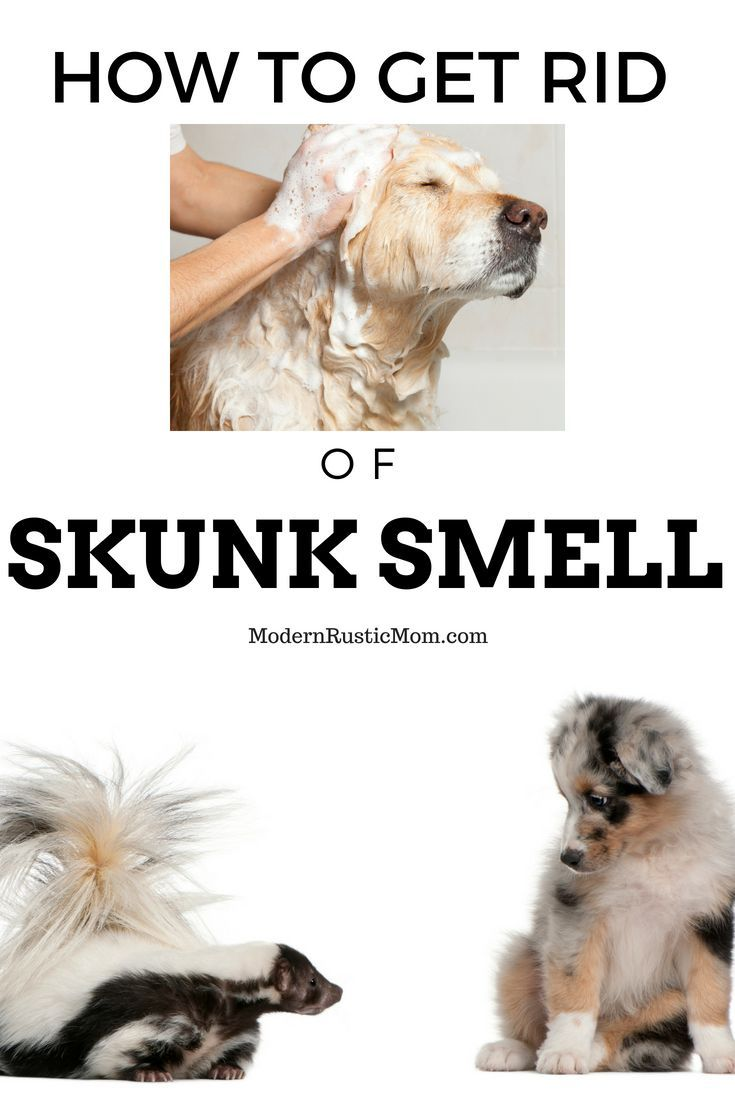 How to Get Rid of Skunk Smell | Homesteading for Beginners