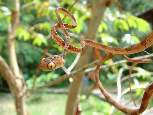 I'm not too fond of snakes, but I can't seem to take the Blunthead Tree Snake seriously.