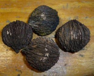 Fruit Warehouse: Black Walnut ( Juglans nigra )