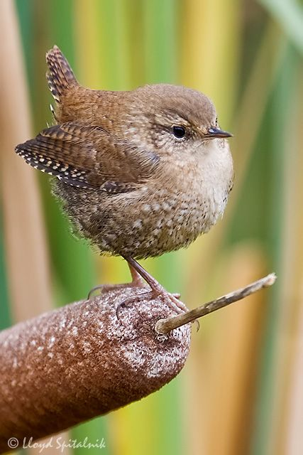 Fancy seeing more of this small in stature, but big in personality little chap in your garden? Wrens look for places with lots of lovely nest sites and plenty of tasty insects to snack on, so grow dense thickets, make log piles, plant hedges where you can and cloak walls and fences with climbers, preferably over a trellis #homesfornature Photo by Lloyd Spitalnik