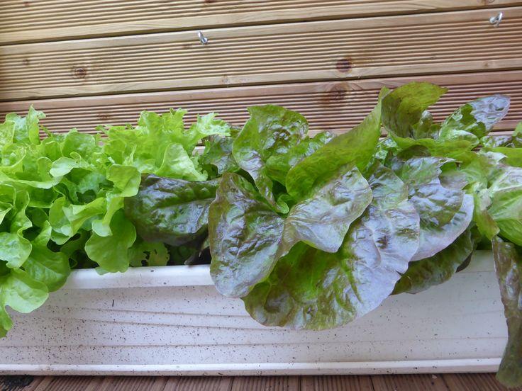 64 besten garten salate blattgem se pflanzen bilder auf pinterest pflanzen salate und ernte. Black Bedroom Furniture Sets. Home Design Ideas