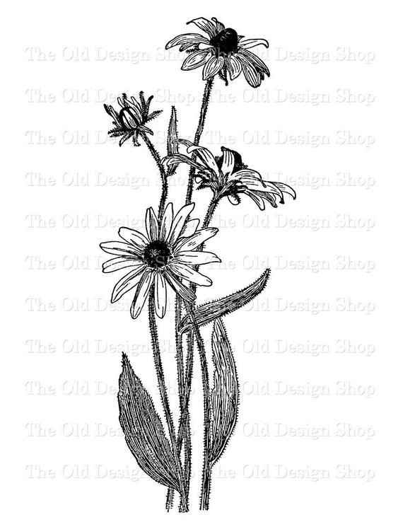 Black Eyed Susan Vintage Commercial Use Clip Art Flower Etsy Black Eyed Susan Flower Wildflower Tattoo Flower Tattoo Sleeve