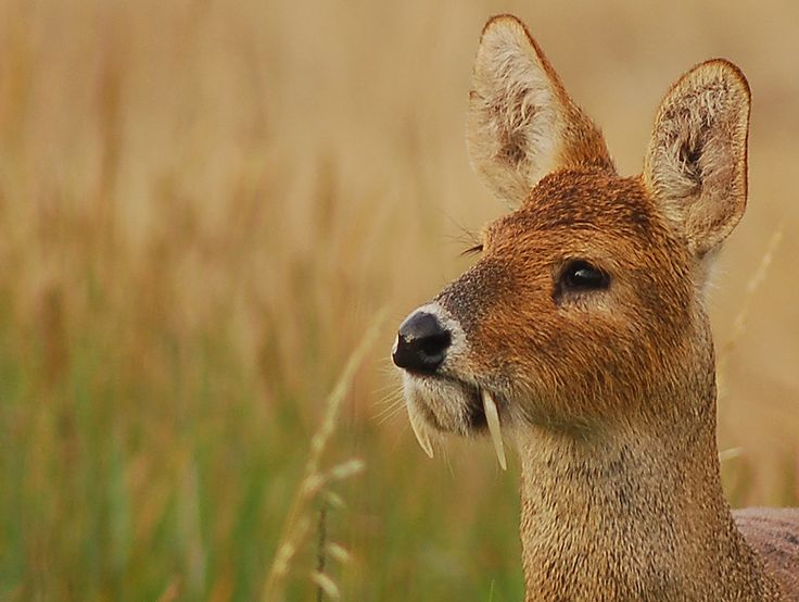 Instead of antlers, the male Chinese water deer bears enlarged upper canine teeth, which form long, slightly curved tusks that measure up to three inches in length and protrude like fangs from the side of the mouth.