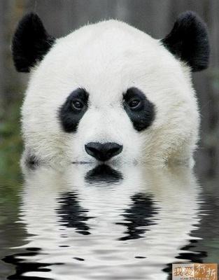 moody panda