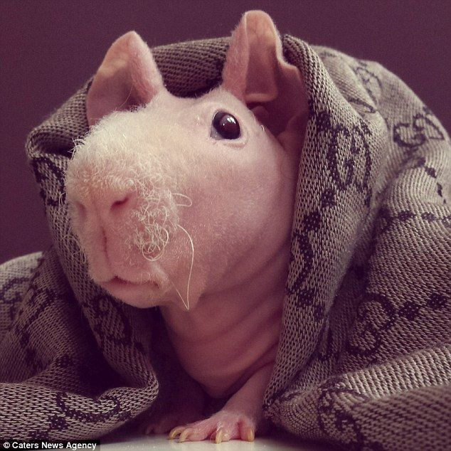 Best The Naked Guinea Pig Images On Pinterest Guinea Pigs - Ludwig the bald guinea pig is winning the internets hearts