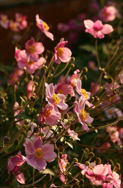 Herbstanemone - : Herbst Anemone