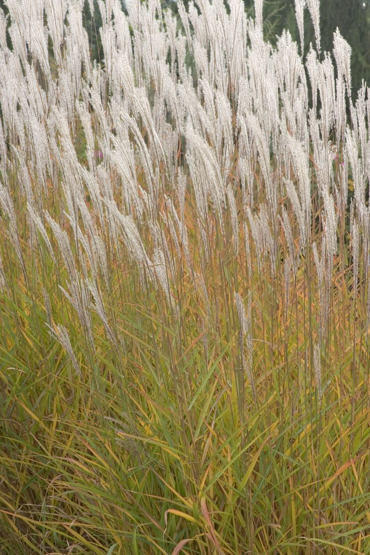 127 best images about miscanthus on pinterest for Ornamental grass with purple plumes